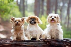 Dog Breeds That Stay Small Forever