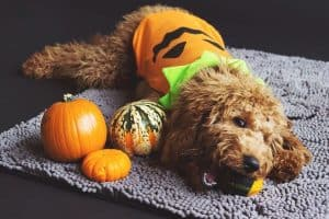 Halloween Safety Tips For Your Aurora and Newmarket Pets