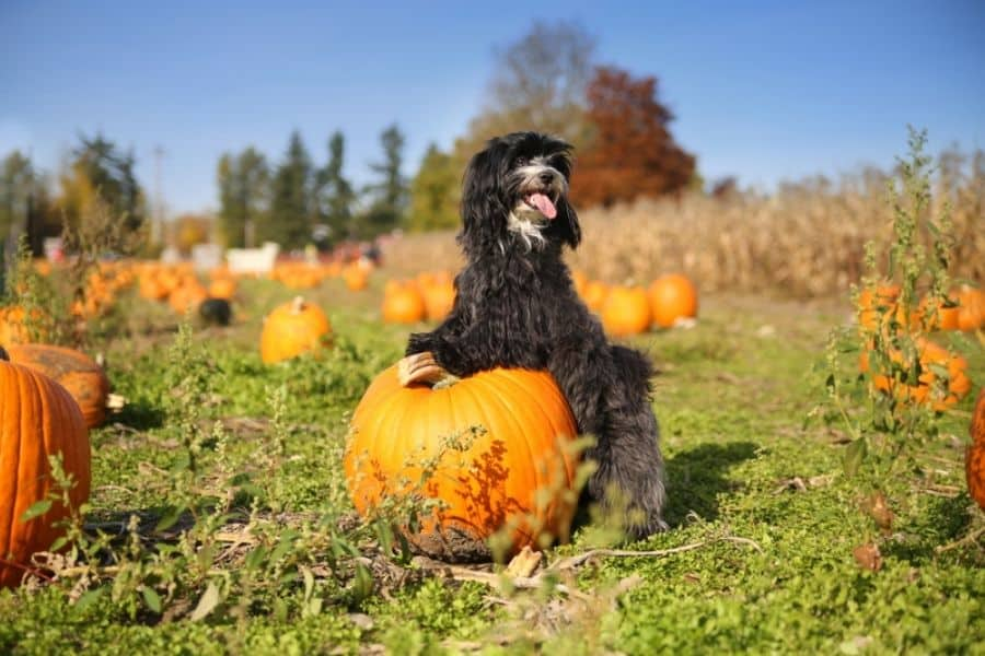 Pumpkin Patches & Apple Orchards In The Aurora and Newmarket Area!